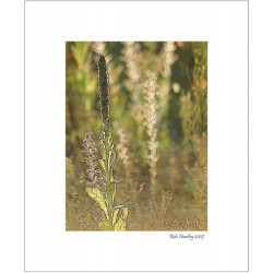 Backlit Mullein in a Meadow - 8x10 Matted Print