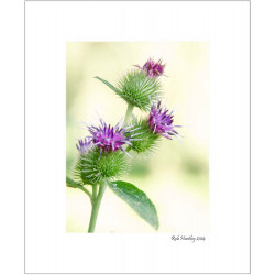 Burdock Flowers - 8x10 Matted Print