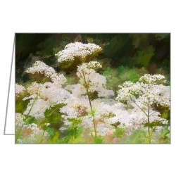 Queen Anne's Lace -...