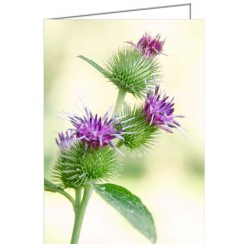 Burdock flowers - greeting...