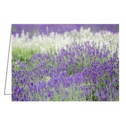 Lavender 4 - Greeting Card