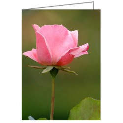 Pink Rose - Greeting Card