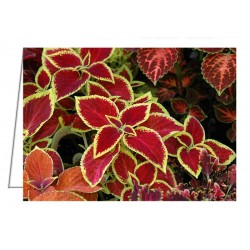 Coleus Mix - Greeting Card