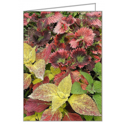 Coleus Container Display -...