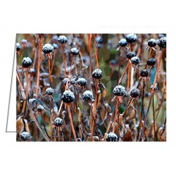 Frosted seed heads -...