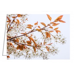 Serviceberry Tree in Blossom - Greeting Card