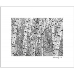 Birch Forest - 8x10 Matted Print