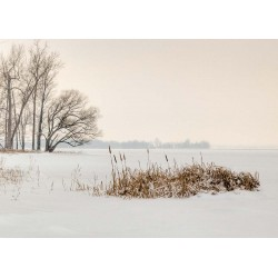 Cattails by the Shore in Winter