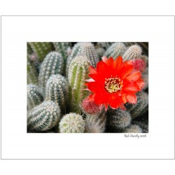 Cactus with orange flower - 8x10 Matted Print