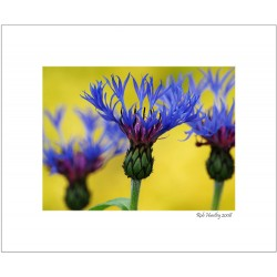Bachelor's Buttons - 8x10 Matted Print