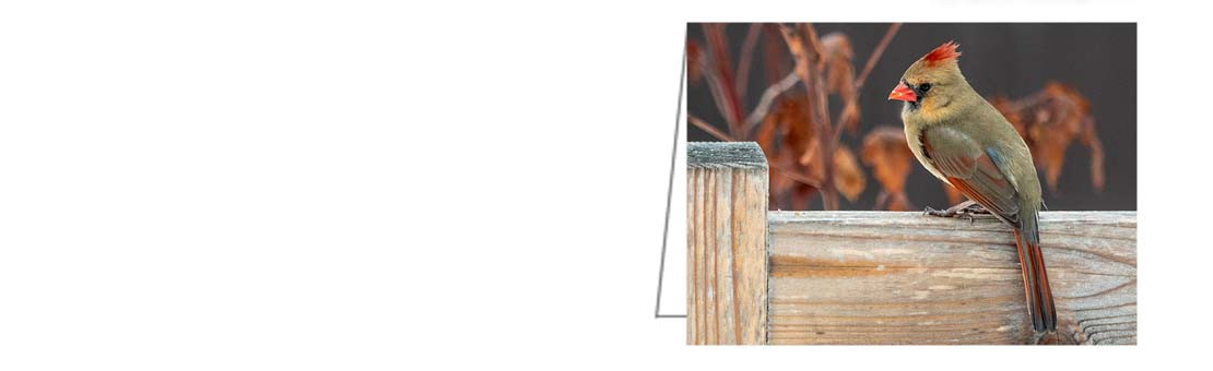 Female Cardinal. A great card for all occasions.