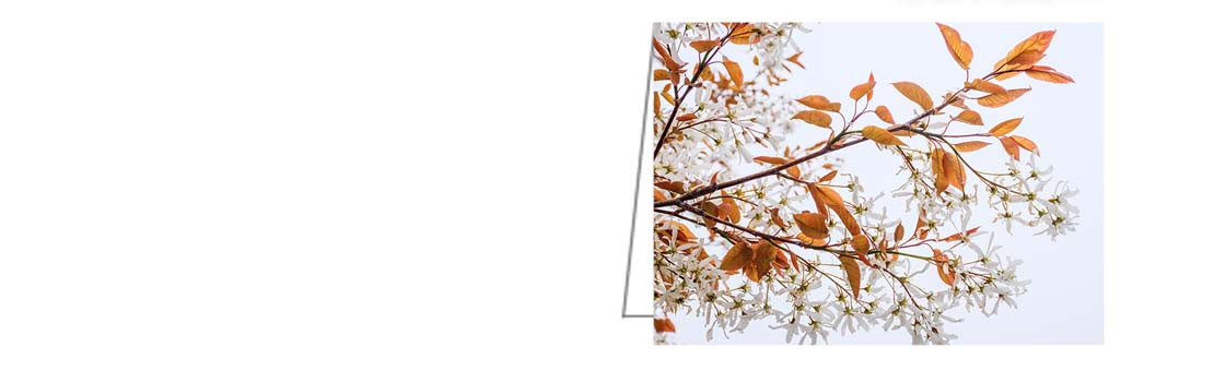 Serviceberry Tree in Blossom. A great winter-themed card for all occasions.